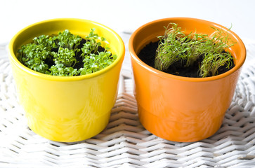 Basil and Dill Pots