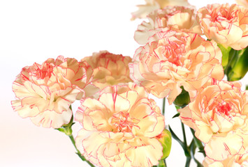 Yellow-pink carnation flowers