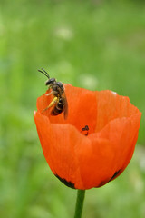 Bee on red poppy