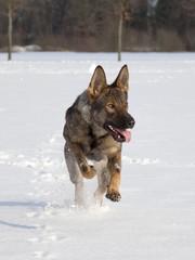 schnell laufender Schäferhund
