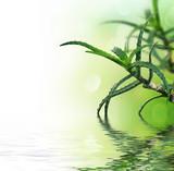 Fototapety Beautiful fresh Aloe Vera with reflection.Isolated on white