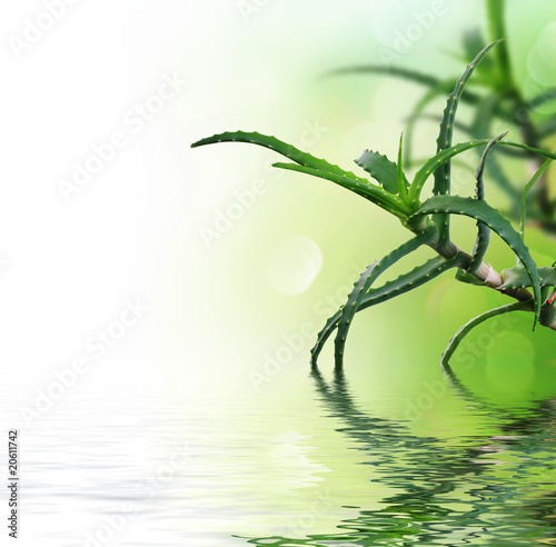 Beautiful fresh Aloe Vera with reflection.Isolated on white