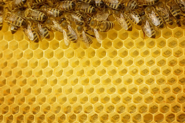 Worker Bees on honeycombs