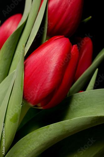 czerwone-tulipany-na-czarnym-tle-makro