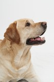 Retriever Labrador dog of a yellow ivory creme shade in studio poster