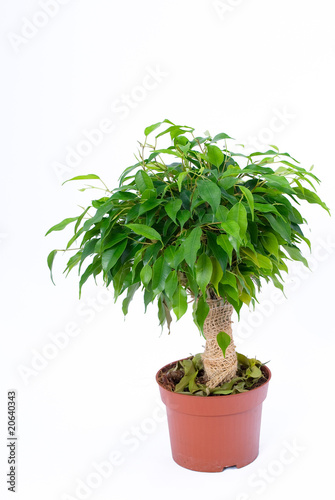 ficus natasja on a white background by stanislav orlov royalty free stock photos 20640343 on. Black Bedroom Furniture Sets. Home Design Ideas