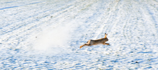Escaping hare