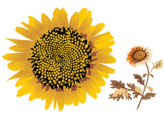 sunflower illustration on white