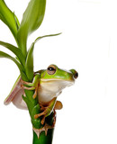 Frog on bamboo branch