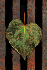 Leaf on a  rusted lattice