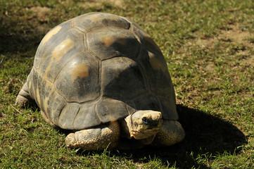 Tortue Aldabra