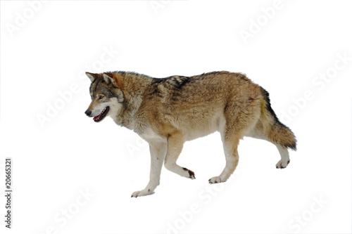 Fotobehang Wolf Wolf freigestellt