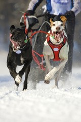 front view at two  siberian huskys at race in winter