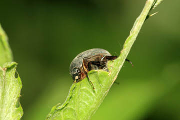 dark melolonthidae