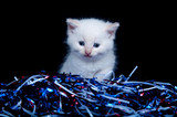 Gray kitten and fourth of july streamers poster