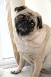 Pug with Tilted Head