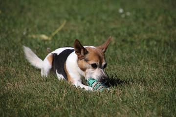Jack-Russel mit seinem Spielzeug