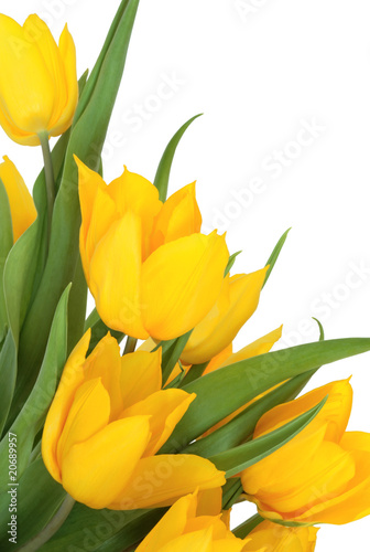 Yellow Tulip Flower Beauty
