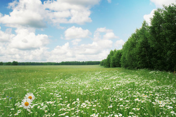White daisies,trees and blue sky.