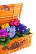 colorful Primulas