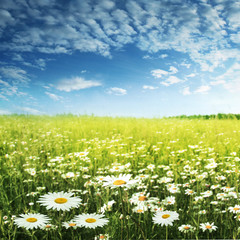 Field of daisies and blue sky.