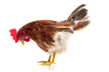 a free-range chicken isolated over white