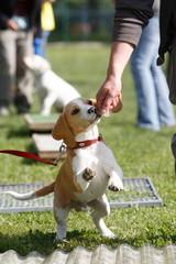 Beagle Welpe in der Hundeschule