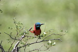 Southern Carmine Bee-eater, Selous National Park, Tanzania poster