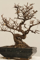 Isolated Dead Bonsai