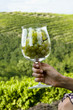 Hand of young woman in vineyard holding a wineglass of white grapes