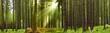 Fototapeten,wald,nadelwald,morgens,licht