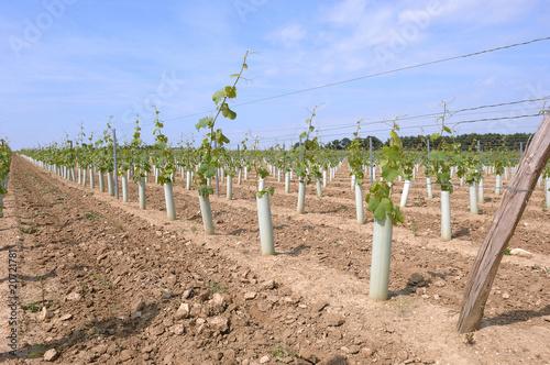 In de dag Wijngaard plantation d'une vigne