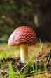 Aminita Muscaria - poisonous mushroom