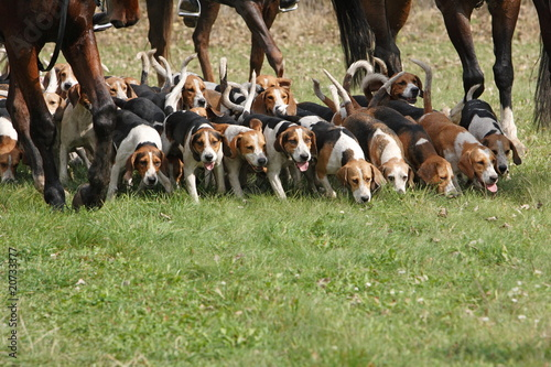Beagle Hundemeute - 20733377