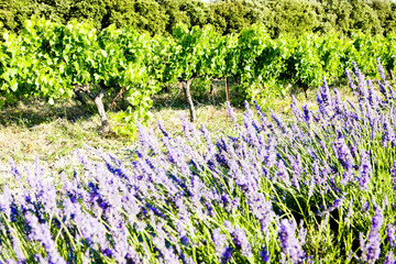 lavender field with vineyard, Rhone-Alpes, France