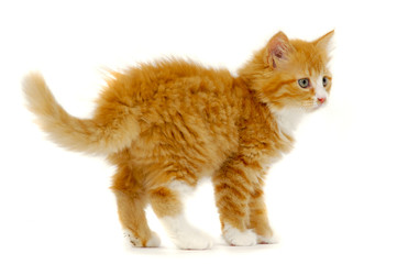 Sweet cat kitten standing on white background