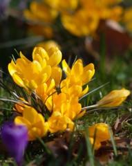 yeloc crocuses in spring garden