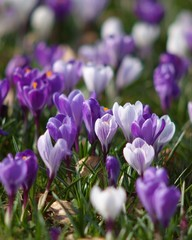 Blossom of crocuses in spring meadow