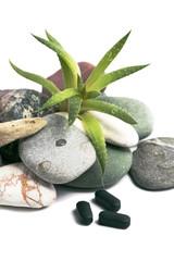 aloe vera and stones on white background