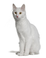 Side view of Turkish Angora, sitting and looking away