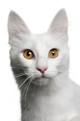 close up of a Turkish Angora, looking the camera