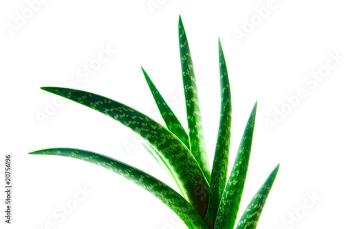 Canvas Cactus Aloe Vera