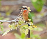White fronted bee-eater poster