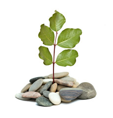 Tree shot growing from pile of pebbles