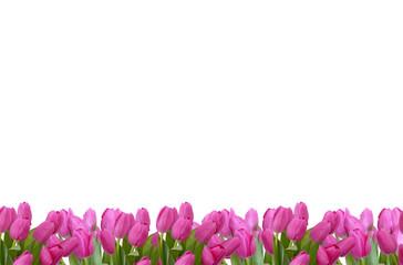 blumenhintergund,tulpen
