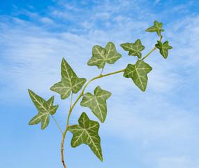 ivy on sky background