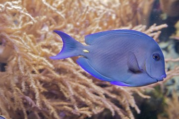 A blue, stripped triggerfish