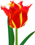 Red-yellow striped tulip flower with fringe (vector) poster