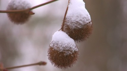 HD Prickly plant spherules with last snow, closeup
