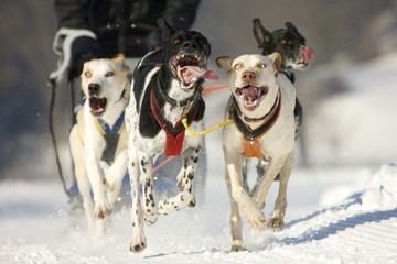 front view at four  alaskan huskys at race in winter
